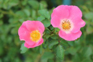 花ミニバラ